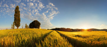 summer-wheat-panorama-sun-42037349